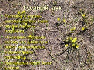 Гусиный лук Растение и впрямь напоминает лук: узкие листья и корень – лукович