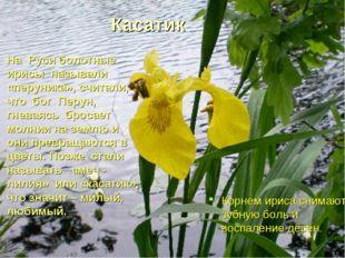 Касатик На Руси болотные ирисы называли «перуника», считали, что бог Перун, г