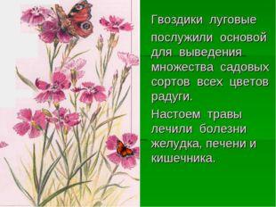Гвоздики луговые послужили основой для выведения множества садовых сортов вс