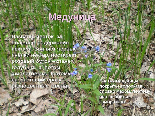 Медуница Назвали цветок за большое содержание нектара. Выпьют первые пчёлки н...