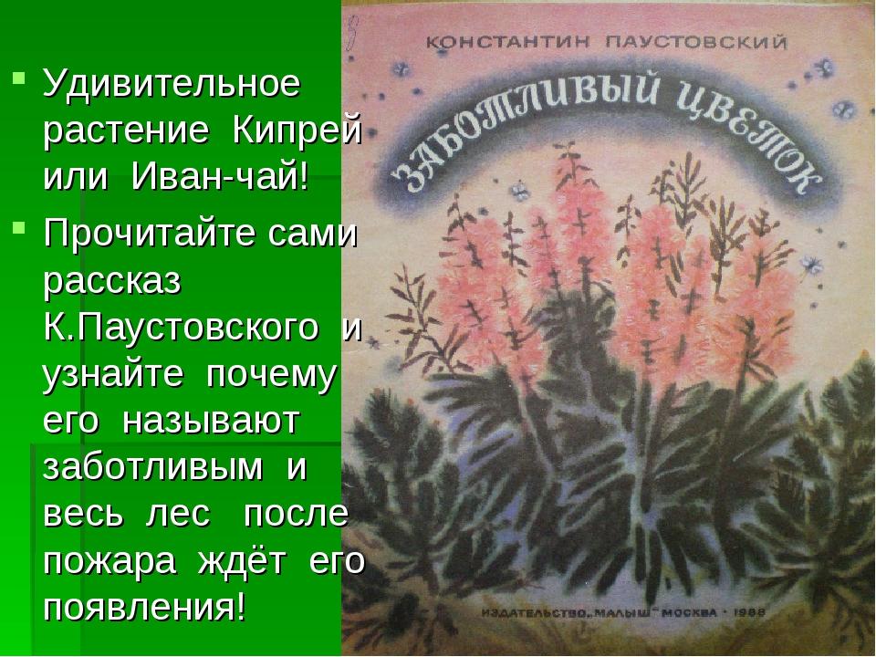 Удивительное растение Кипрей или Иван-чай! Прочитайте сами рассказ К.Паустовс...