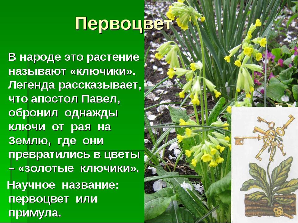 Первоцвет В народе это растение называют «ключики». Легенда рассказывает, что...