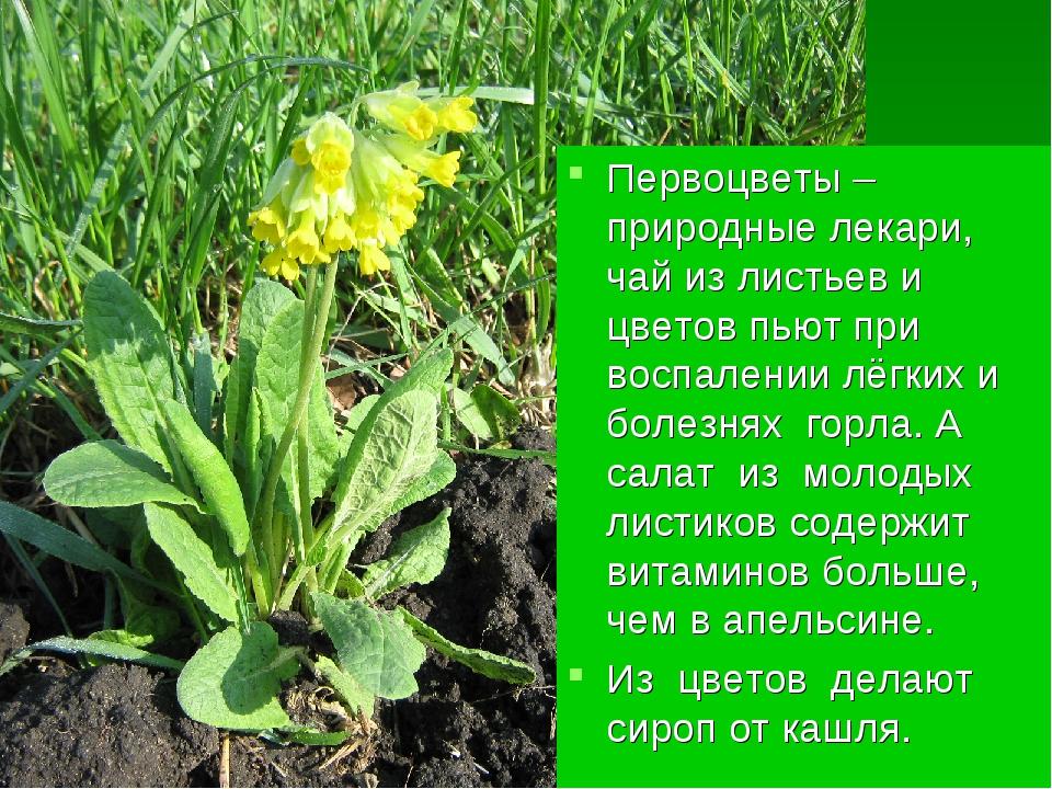Первоцветы – природные лекари, чай из листьев и цветов пьют при воспалении лё...