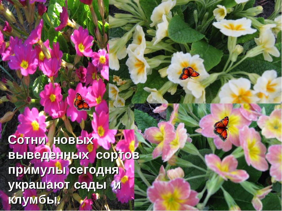 Сотни новых выведенных сортов примулы сегодня украшают сады и клумбы.