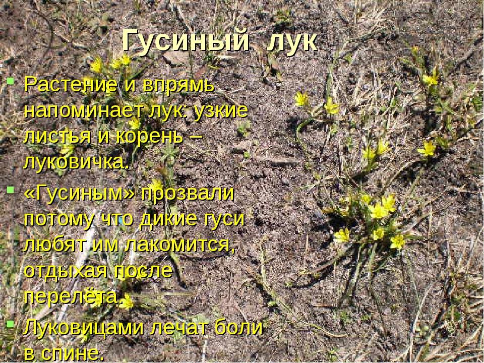 Гусиный лук Растение и впрямь напоминает лук: узкие листья и корень – лукович...