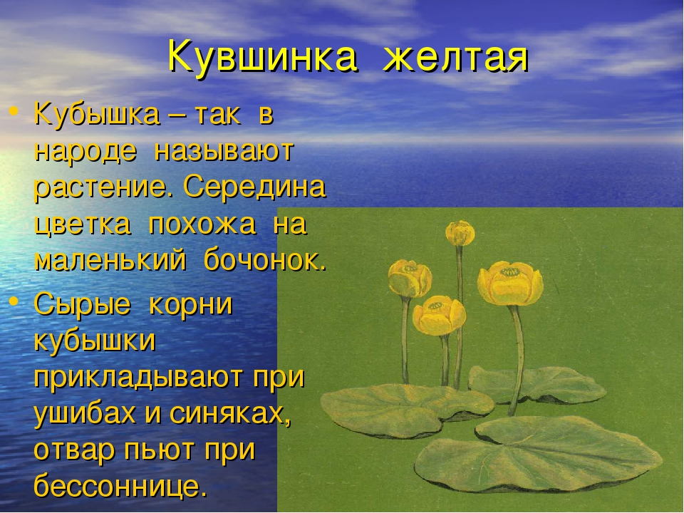 Кувшинка желтая Кубышка – так в народе называют растение. Середина цветка пох...