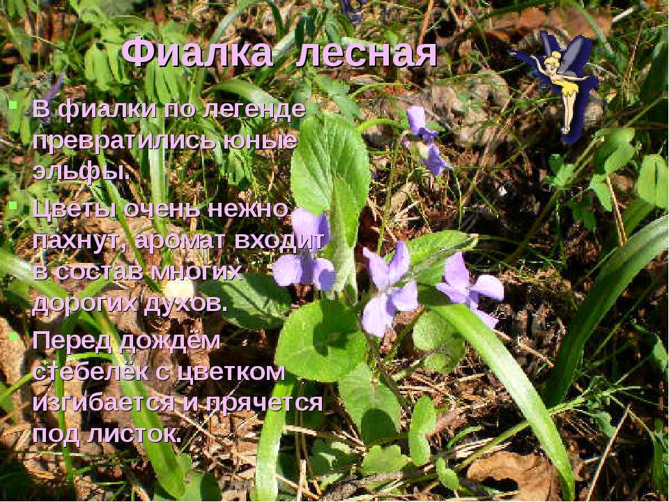 Фиалка лесная В фиалки по легенде превратились юные эльфы. Цветы очень нежно...