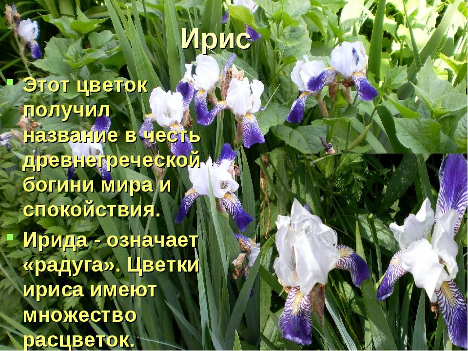 Ирис Этот цветок получил название в честь древнегреческой богини мира и споко...
