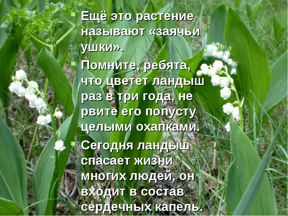 Ещё это растение называют «заячьи ушки». Помните, ребята, что цветет ландыш р...