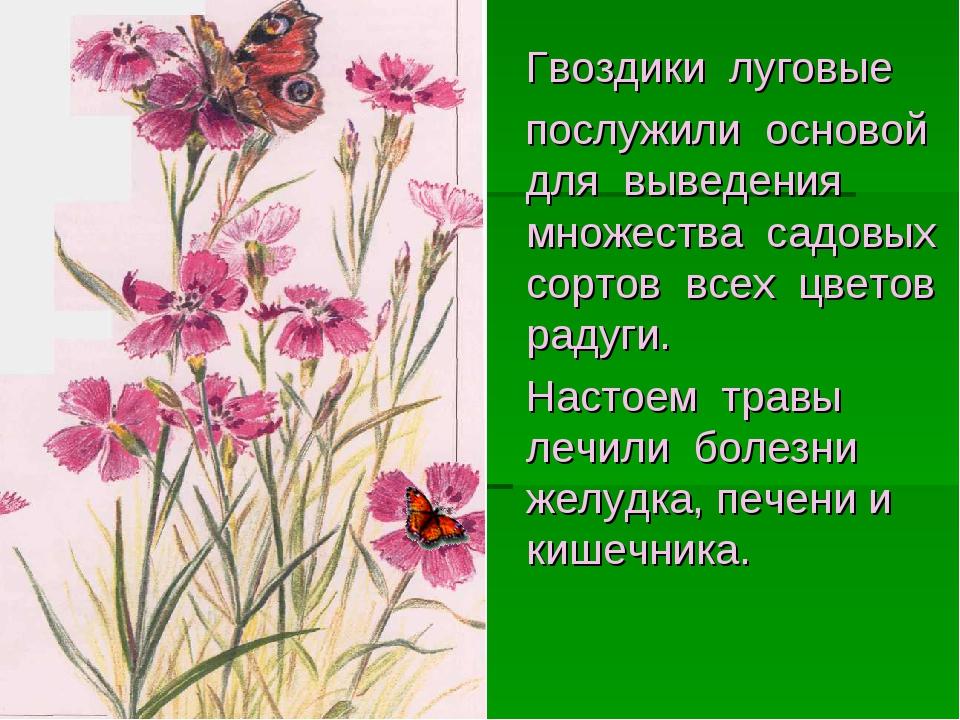 Гвоздики луговые послужили основой для выведения множества садовых сортов вс...