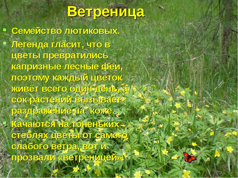 Ветреница Семейство лютиковых. Легенда гласит, что в цветы превратились капри...