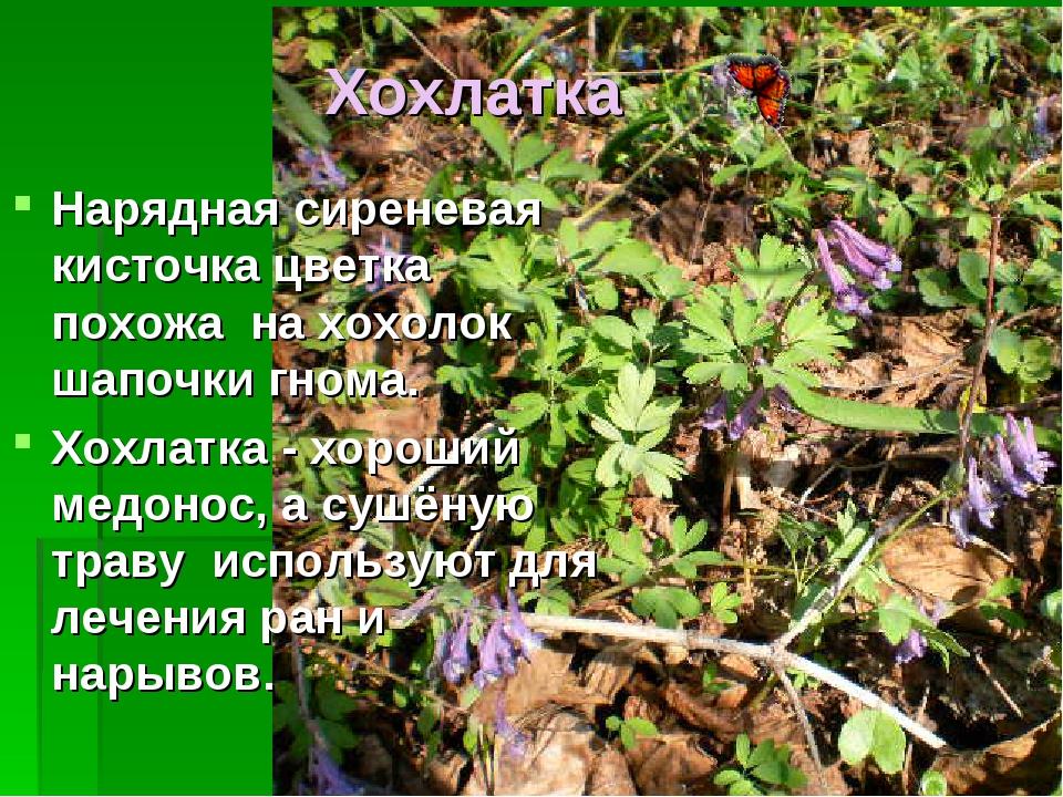 Хохлатка Нарядная сиреневая кисточка цветка похожа на хохолок шапочки гнома....