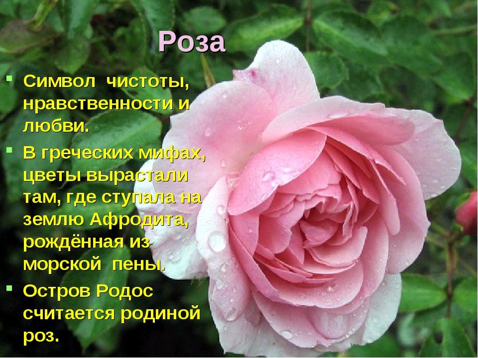 Роза Символ чистоты, нравственности и любви. В греческих мифах, цветы выраста...