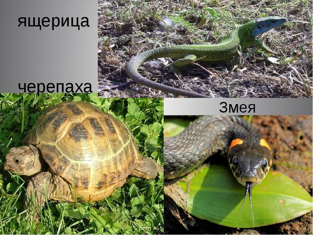 Змея ящерица черепаха
