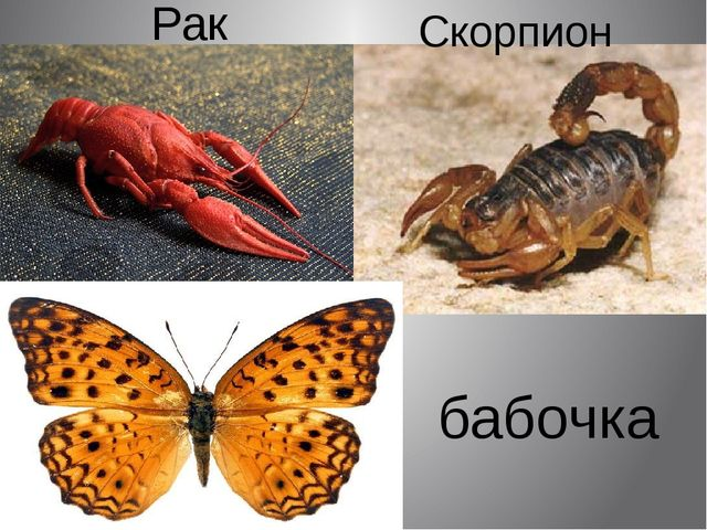 Рак Скорпион бабочка