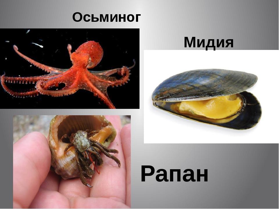 Осьминог Мидия Рапан