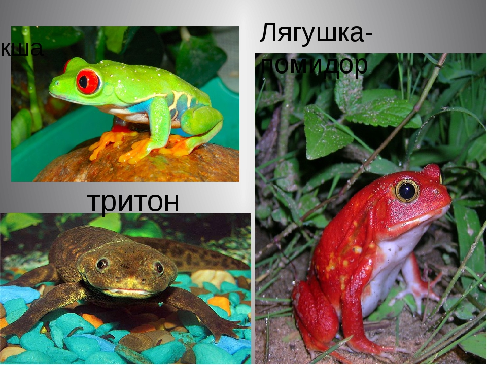 квакша тритон Лягушка-помидор