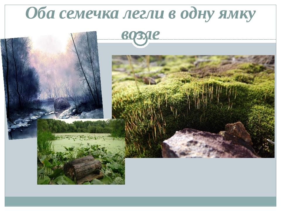 Оба семечка легли в одну ямку возле большого плоского камня...