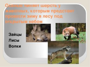 Осенью линяет шерсть у животных, которым предстоит провести зиму в лесу под о