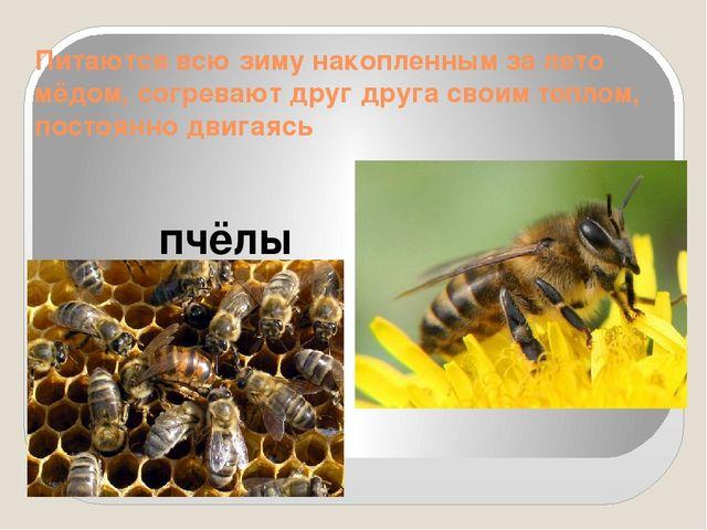 Питаются всю зиму накопленным за лето мёдом, согревают друг друга своим тепло...