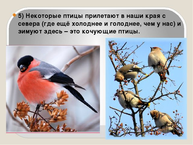 5) Некоторые птицы прилетают в наши края с севера (где ещё холоднее и голодне...