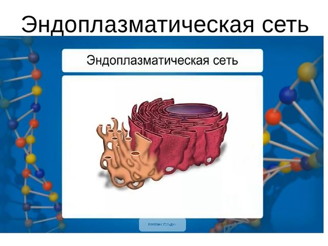 Эндоплазматическая сеть (ЭПС)