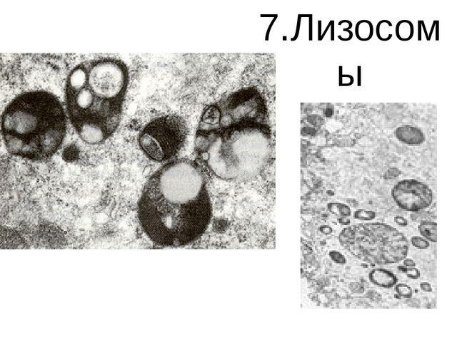 7.Лизосомы