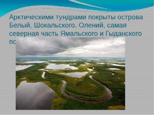 Арктическими тундрами покрыты острова Белый, Шокальского, Олений, самая север