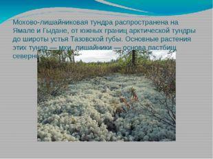 Мохово-лишайниковая тундра распространена на Ямале и Гыдане, от южных границ