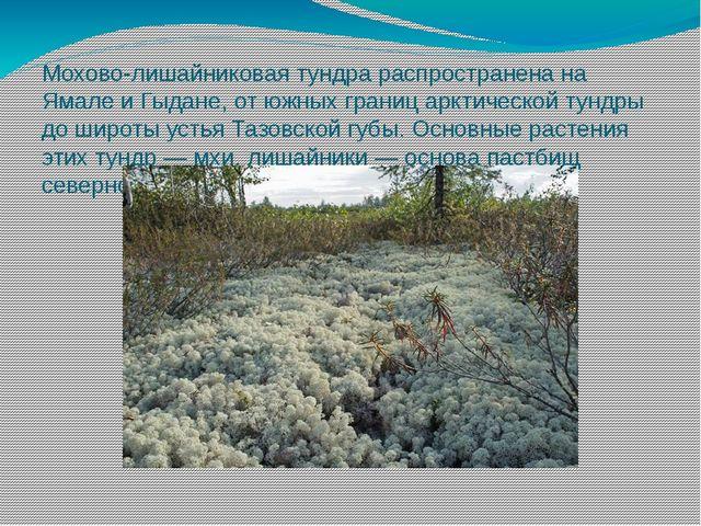 Мохово-лишайниковая тундра распространена на Ямале и Гыдане, от южных границ...