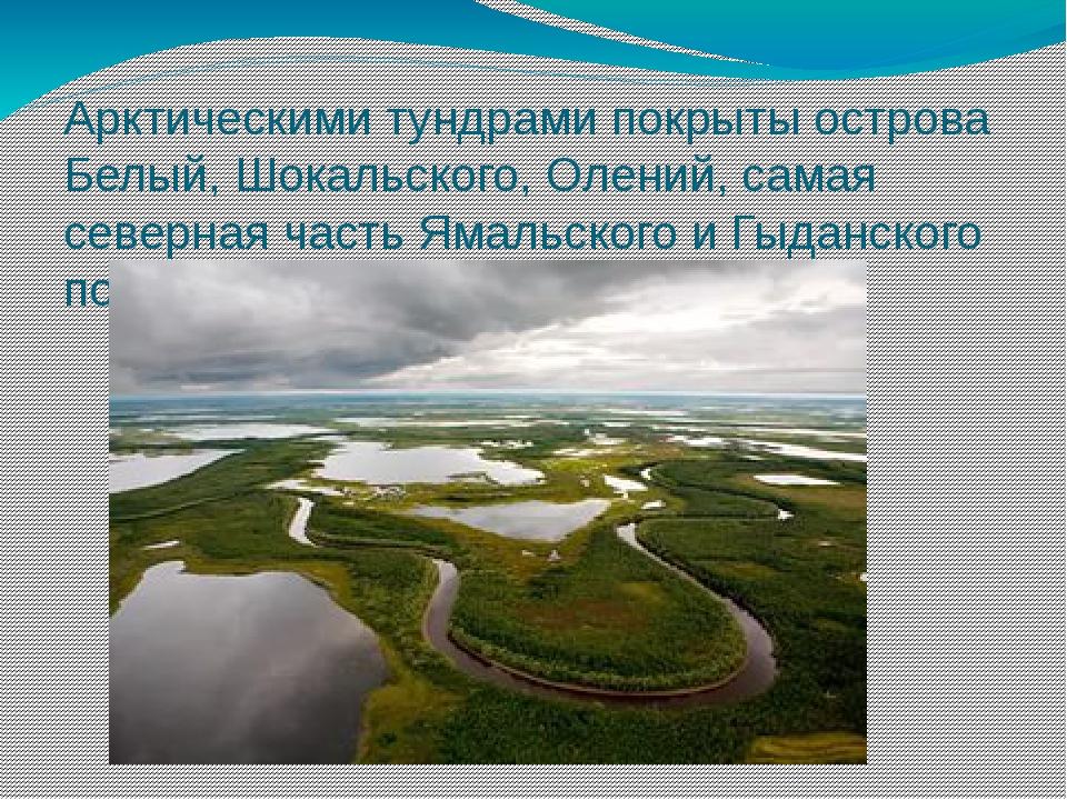 Арктическими тундрами покрыты острова Белый, Шокальского, Олений, самая север...