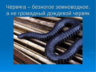 Червяга – безногое земноводное, а не громадный дождевой червяк