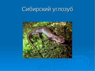 Сибирский углозуб