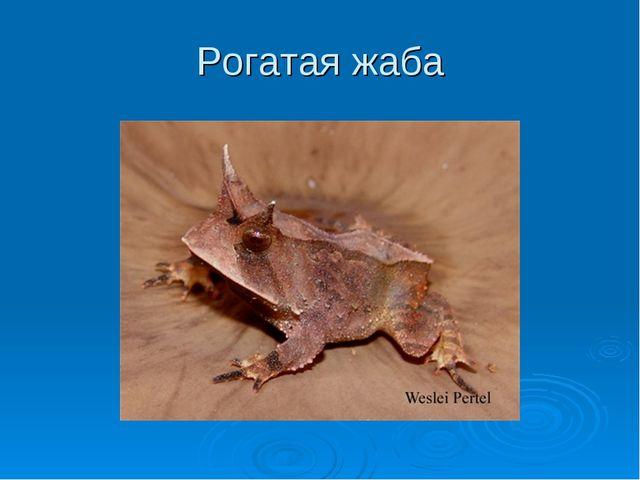 Рогатая жаба