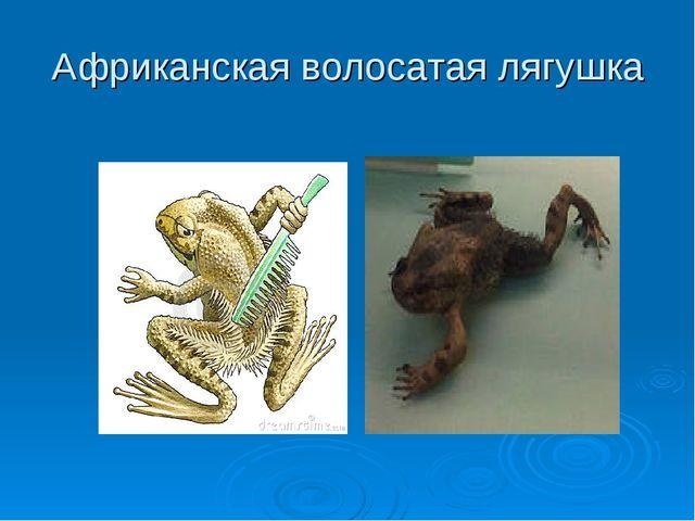 Африканская волосатая лягушка