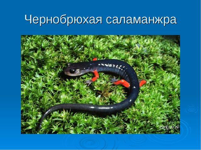 Чернобрюхая саламанжра