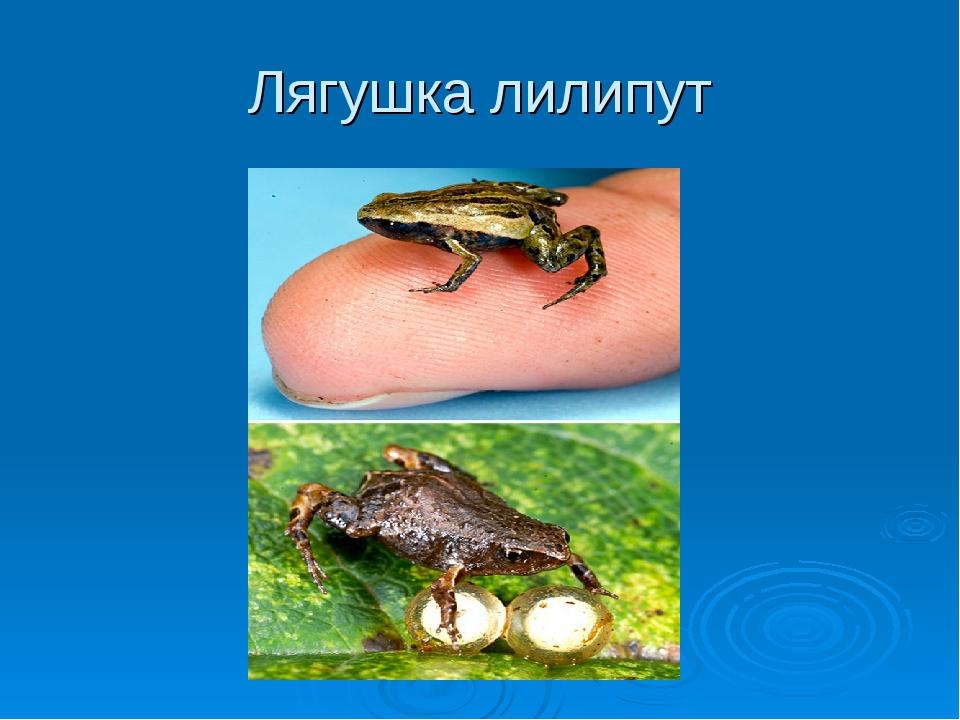 Лягушка лилипут