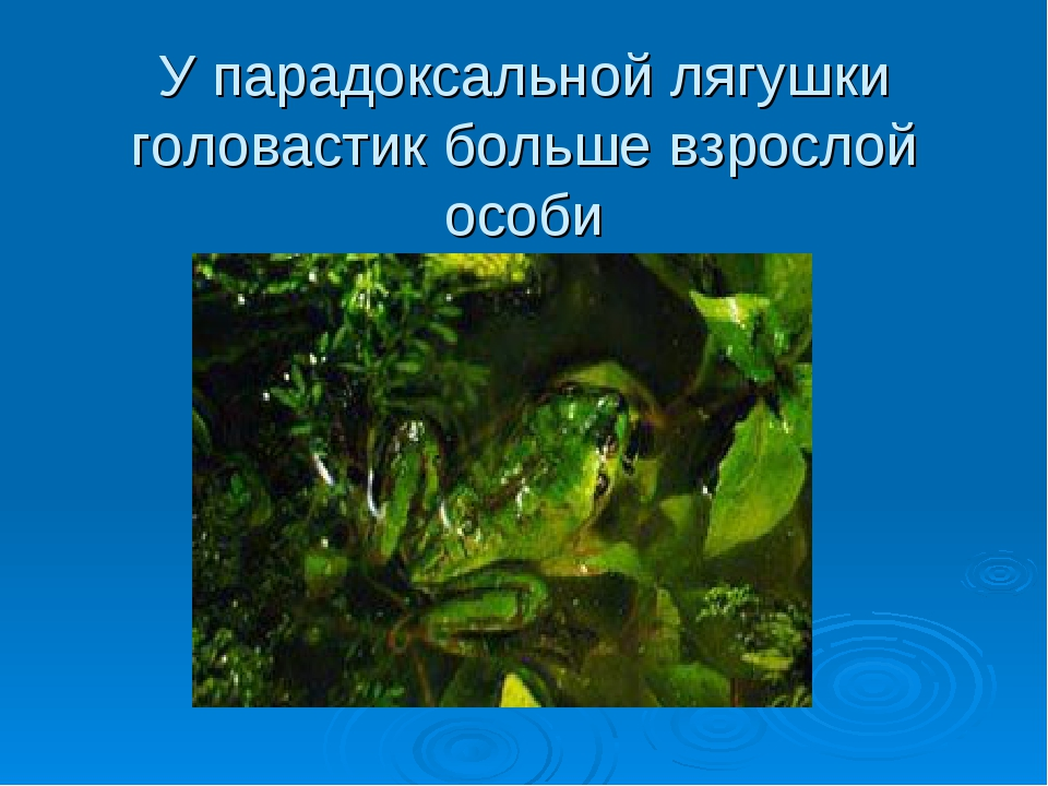 У парадоксальной лягушки головастик больше взрослой особи