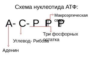 Схема нуклеотида АТФ: А- С- Р ͂Р ͂Р Аденин Углевод- Рибоза Три фосфорных оста