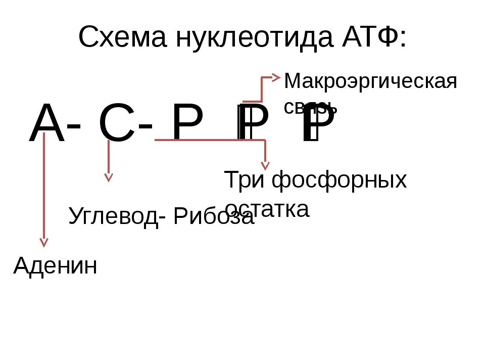 Схема нуклеотида АТФ: А- С- Р ͂Р ͂Р Аденин Углевод- Рибоза Три фосфорных оста...
