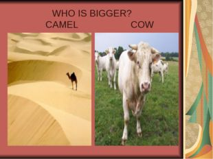 WHO IS BIGGER? CAMEL COW