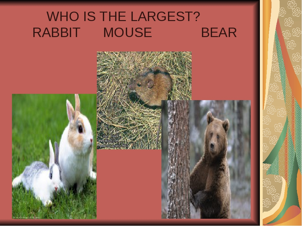 WHO IS THE LARGEST? RABBIT MOUSE BEAR