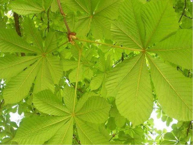 Дерево чудесное, Листья интересные, Веерочки, веерки, Белой свечкою цветки.