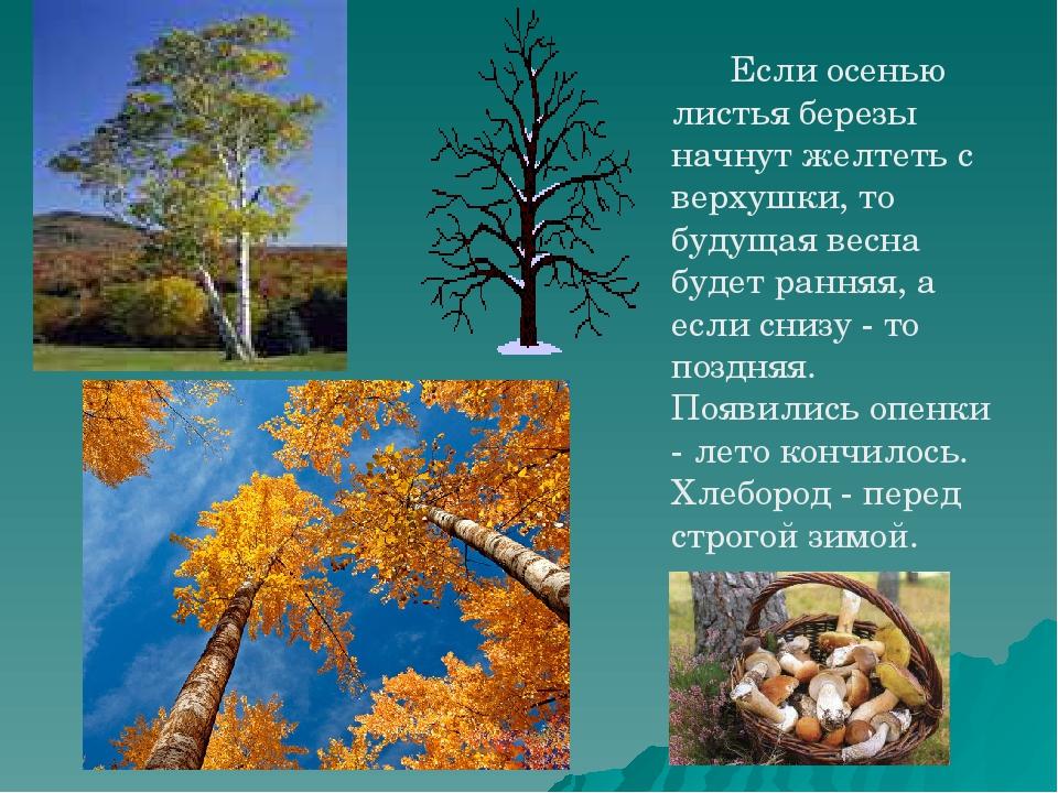 Если осенью листья березы начнут желтеть с верхушки, то будущая весна будет...