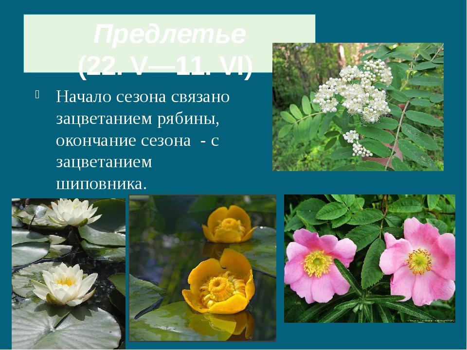 Начало сезона связано зацветанием рябины, окончание сезона - с зацветанием ши...