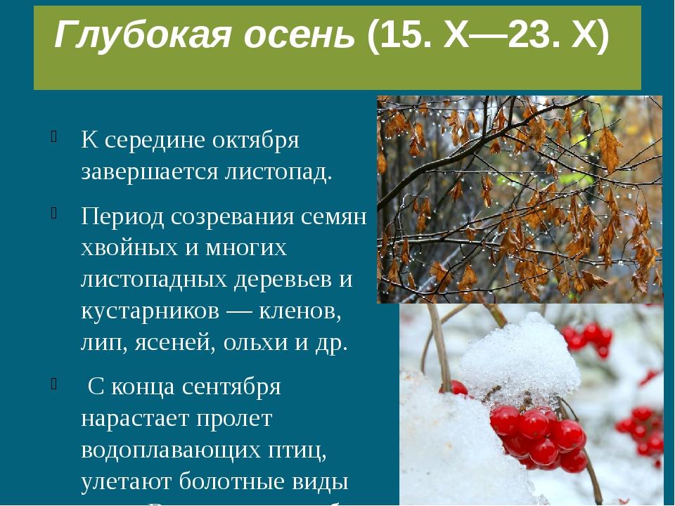 К середине октября завершается листопад. Период созревания семян хвойных и мн...