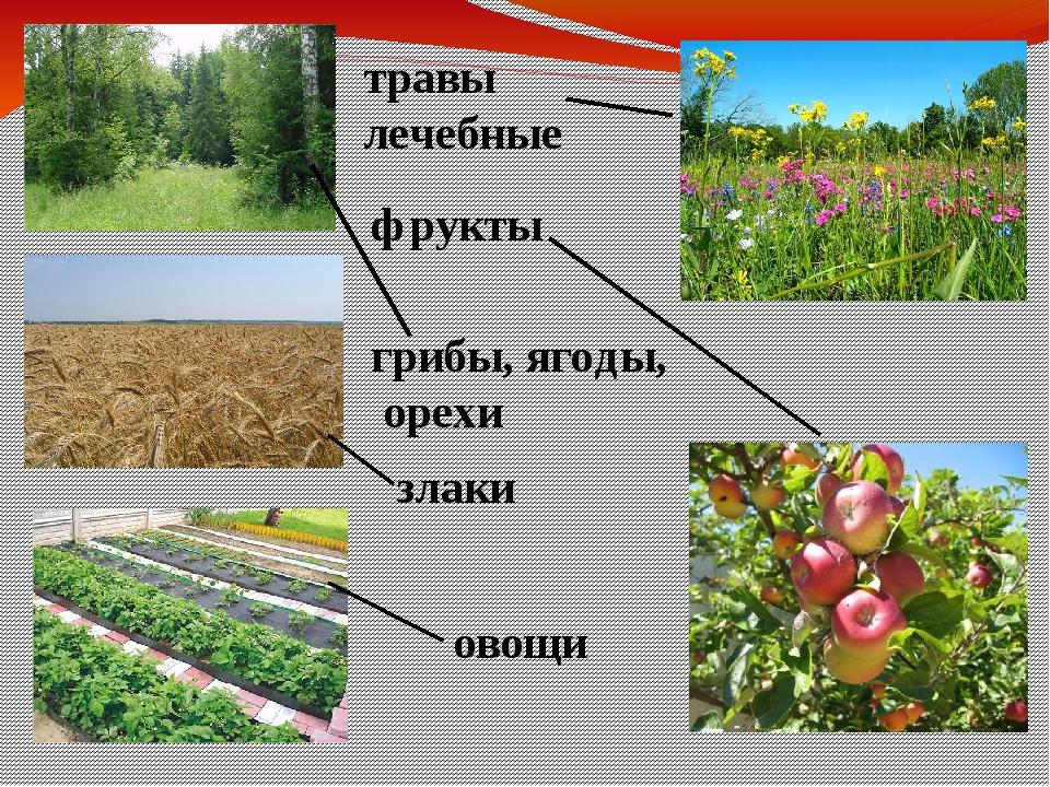 грибы, ягоды, орехи фрукты травы лечебные злаки овощи