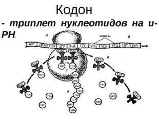 Кодон - триплет нуклеотидов на и-РНК