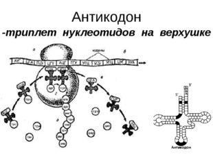 Антикодон -триплет нуклеотидов на верхушке тРНК.