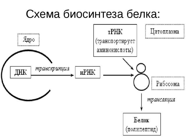 Схема биосинтеза белка: